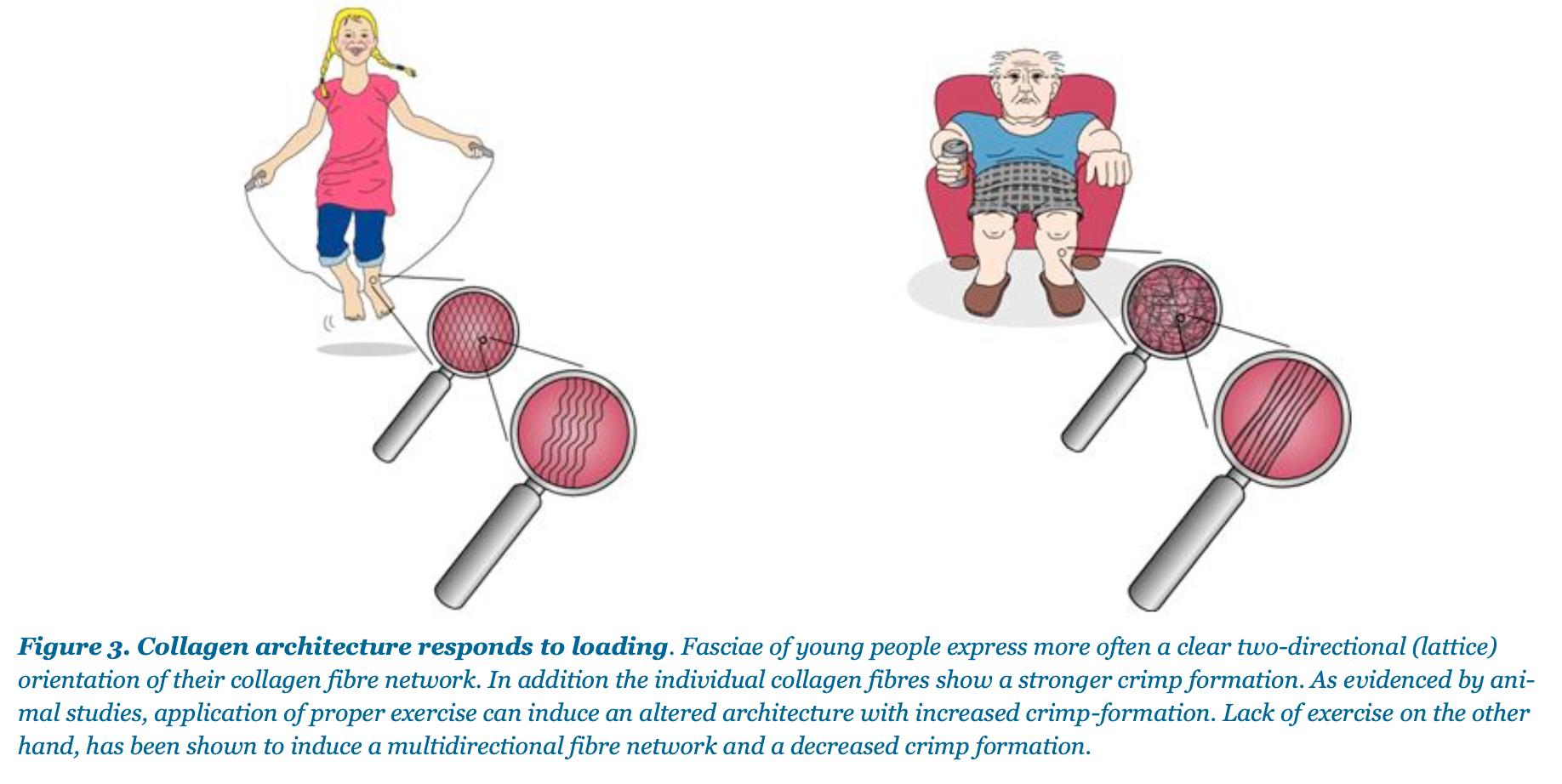 The Catapult Mechanism: Elastic Recoil of Fascial Tissues 1
