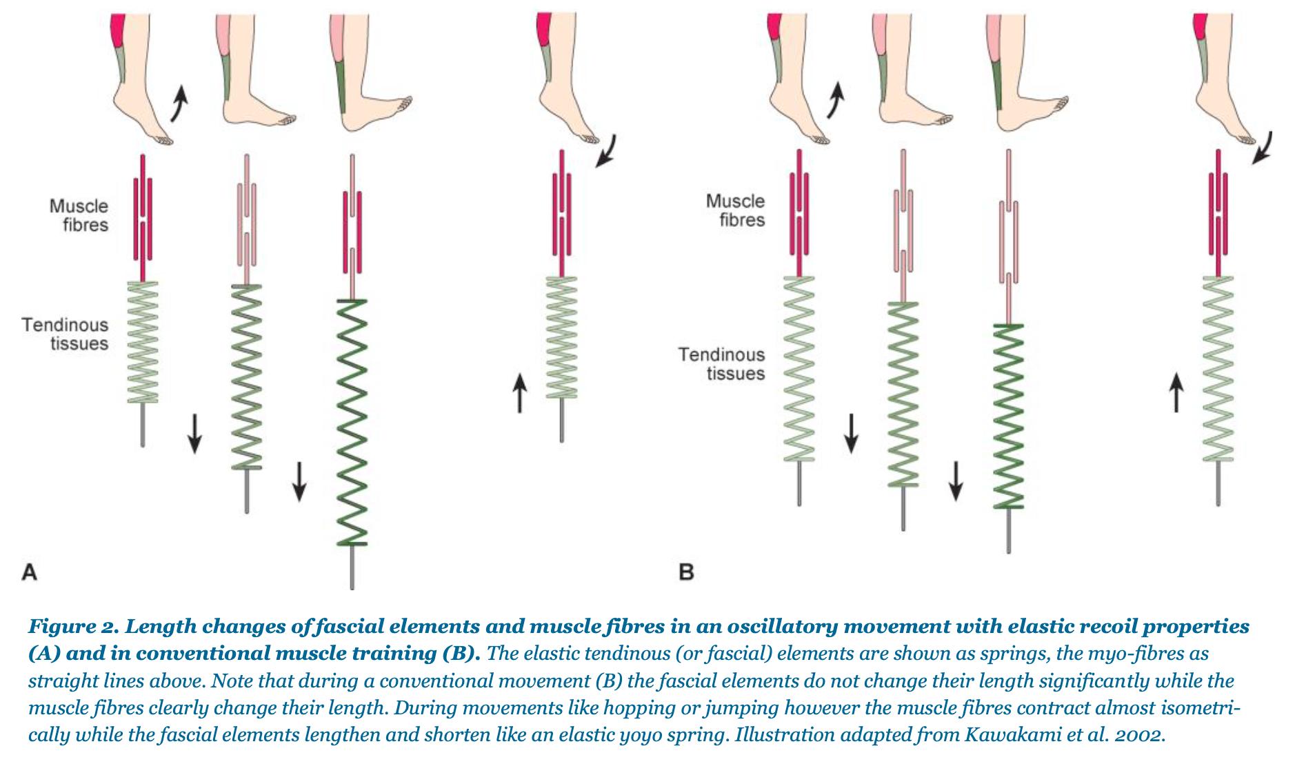 The Catapult Mechanism: Elastic Recoil of Fascial Tissues 2