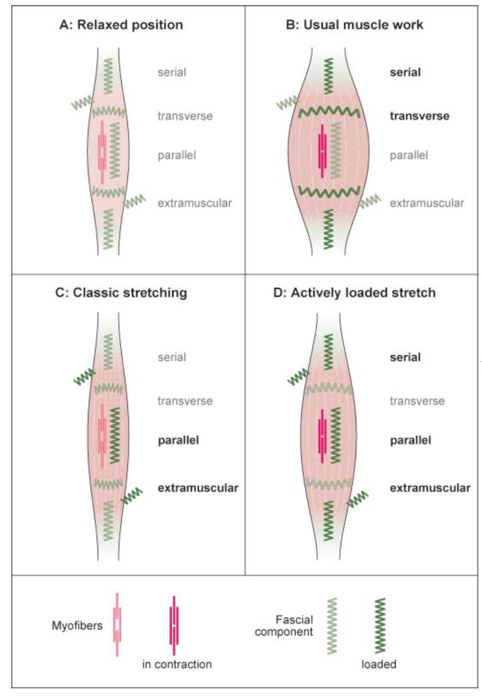 The Catapult Mechanism: Elastic Recoil of Fascial Tissues 3